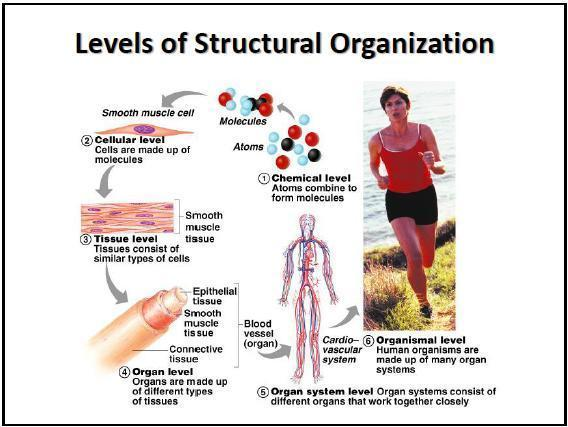 levels_of_structural_organization